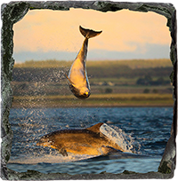 Bottlenose Dolphins Medium Square Slate ZB_05_MSL