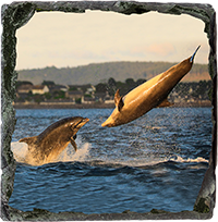 Bottlenose Dolphins Medium Square Slate ZB_06_MSL