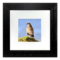 Buzzard Framed Print ZB_38_5x5