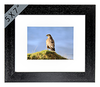 Buzzard Framed Print ZB_38_5x7