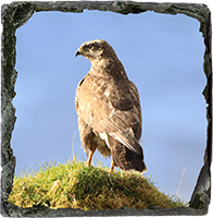 Buzzard Medium Square Slate ZB_38_MSL