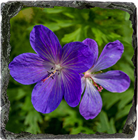 Cranesbill Medium Square Slate DM_11_MSL