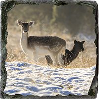 Fallow Deer Medium Square Slate ZB_24_MSL