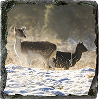 Fallow Deer Medium Square Slate ZB_26_MSL