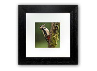 Greater Spotted Wood Pecker Framed Print FB_01_5x5