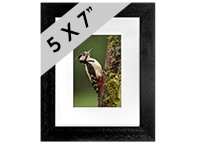 Greater Spotted Wood Pecker Framed Print FB_01_5x7