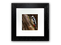 Greater Spotted Wood Pecker Framed Print FB_07_5x5