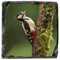 Greater Spotted Wood Pecker Medium Square Slate FB_01_MSL