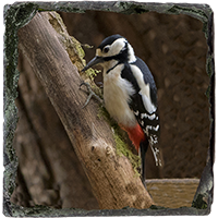 Greater Spotted Wood Pecker Medium Square Slate FB_07_MSL