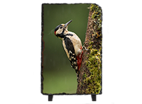 Greater Spotted Wood Pecker Slate FB_01_LS