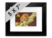 Harvest Mouse Framed Print AJ_02_5x7