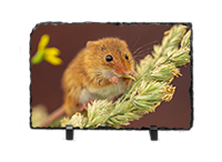 Harvest Mouse, Mice Slate AJ_02_LS