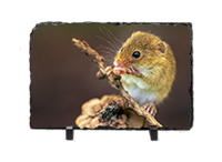 Harvest Mouse, Mice Slate AJ_03_LS