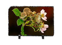 Harvest Mouse, Mice Slate AJ_05_LS