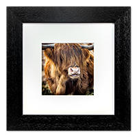 Highland Cow Framed Print AS_30_5x5