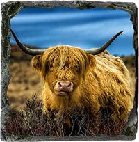 Highland Cow Medium Square Slate AS_31_MSL