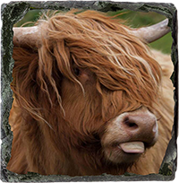 Highland Cow Medium Square Slate  DM_03_MSL