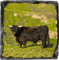 Highland Cow Medium Square Slate ZB_20_MSL