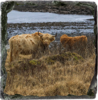 Highland Cow Medium Square Slate ZB_44_MSL