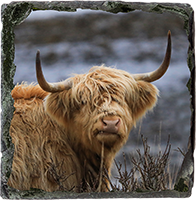 Highland Cow Medium Square Slate ZB_45_MSL
