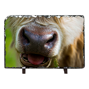 Highland Cow Slate AS_26_LS