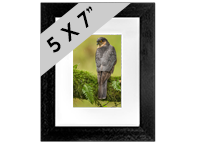 Male Sparrow Hawk Framed Print FB_02_5x7