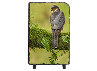 Male Sparrow Hawk Slate FB_02_LS