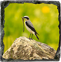 Northern Wheatear Medium Square Slate  ZB_21_MSL