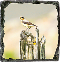 Northern Wheatear Medium Square Slate ZB_22_MSL