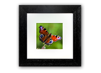 Peacock Butterfly Framed Print DM_02_5x5