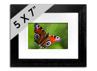 Peacock Butterfly Framed Print DM_02_5x7