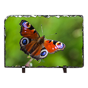 Peacock Butterfly Slate DM_02_LS