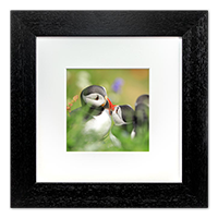 Puffin Framed Print ZB_07_5x5