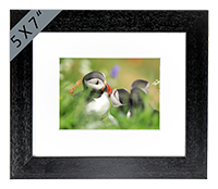 Puffin Framed Print ZB_07_5x7