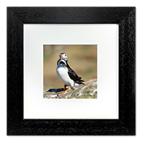 Puffin Framed Print ZB_10_5x5