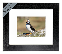 Puffin Framed Print ZB_10_5x7