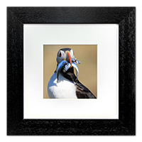 Puffin Framed Print ZB_11_5x5