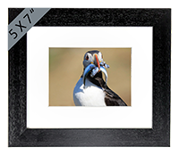 Puffin Framed Print ZB_11_5x7