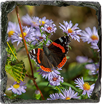 Red Admiral Butterfly Medium Square Slate DM_09_MSL
