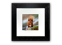 Red Squirrel Framed Print FB_04_5x5