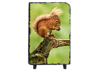 Red Squirrel Slate FB_08_LS