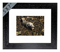 Seal Framed Print ZB_18_5x7