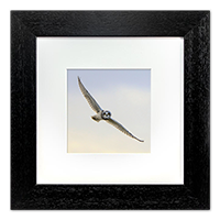 Short-eared Owl Framed Print ZB_04_5x5