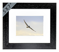 Short-eared Owl Framed Print ZB_04_5x7
