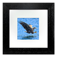 White Tailed Sea Eagle Framed Print ZB_01_5x5