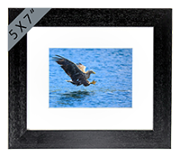 White Tailed Sea Eagle Framed Print  ZB_01_5x7