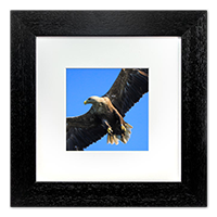 White Tailed Sea Eagle Framed Print ZB_02_5x5