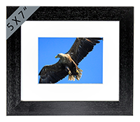 White Tailed Sea Eagle Framed Print ZB_02_5x7