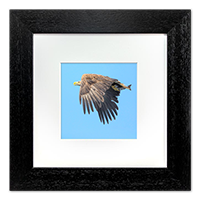 White Tailed Sea Eagle Framed Print ZB_03_5x5
