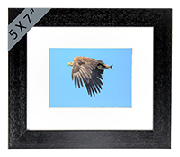 White Tailed Sea Eagle Framed Print ZB_03_5x7